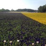 Украинцы создали самый большой в мире флаг из живых цветов