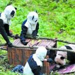 Панд научат выживать в дикой природе