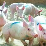 Свиные гонки
